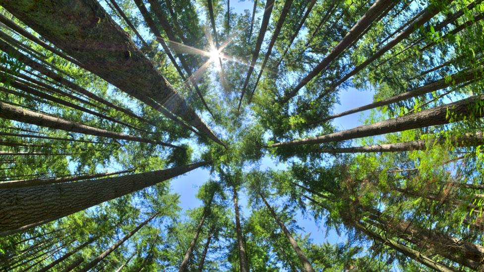 Cimas de bosque de pinos