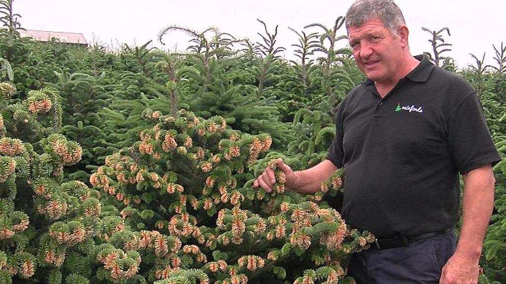 Heatwave spells bad news for Christmas tree growers, farmer warns   BBC