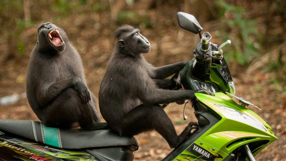 Dos monos sobre una motocicleta. Foto: Katy Laveck-Foster.