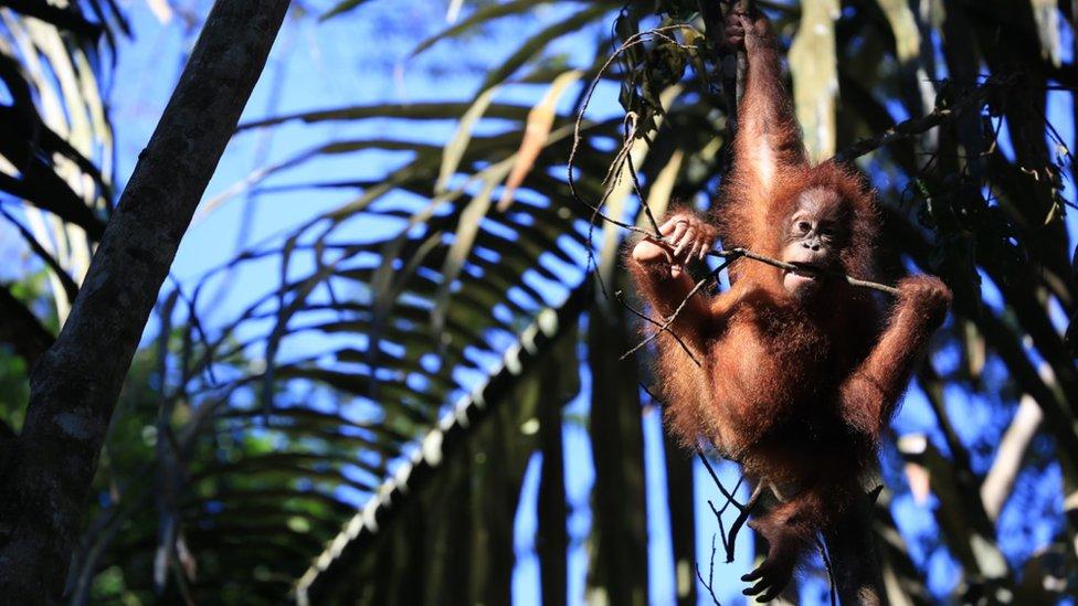 Orangutanes en un refugio de vida silvestre.