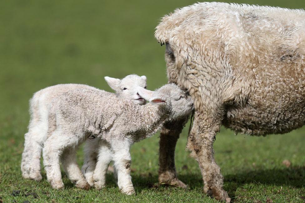 Corderos criados en Nueva Zelanda