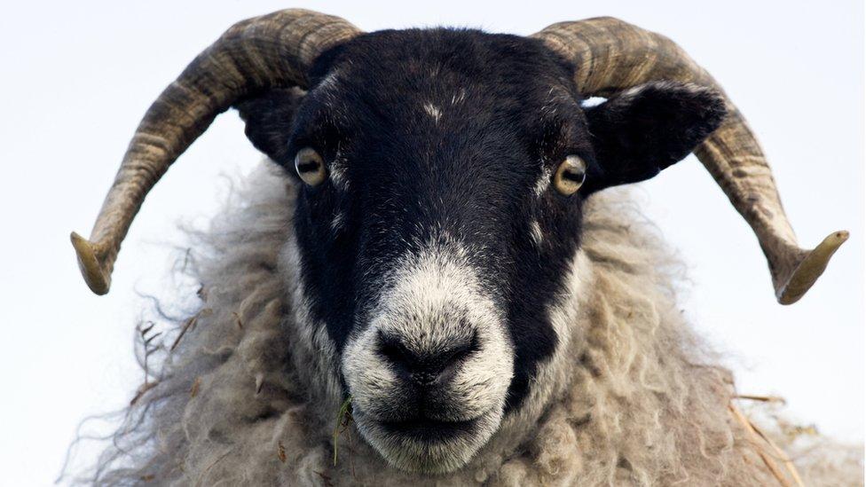 _98657020_c0042087-black_faced_sheep-spl