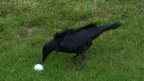 VIDEO: Crow attacks ball at Womens Open