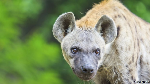 Fossil proves hyenas once roamed Canada's Arctic Plains