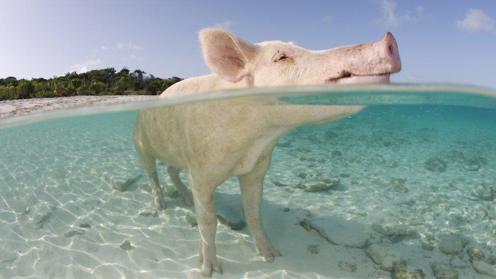 Cerdo con cara de placer