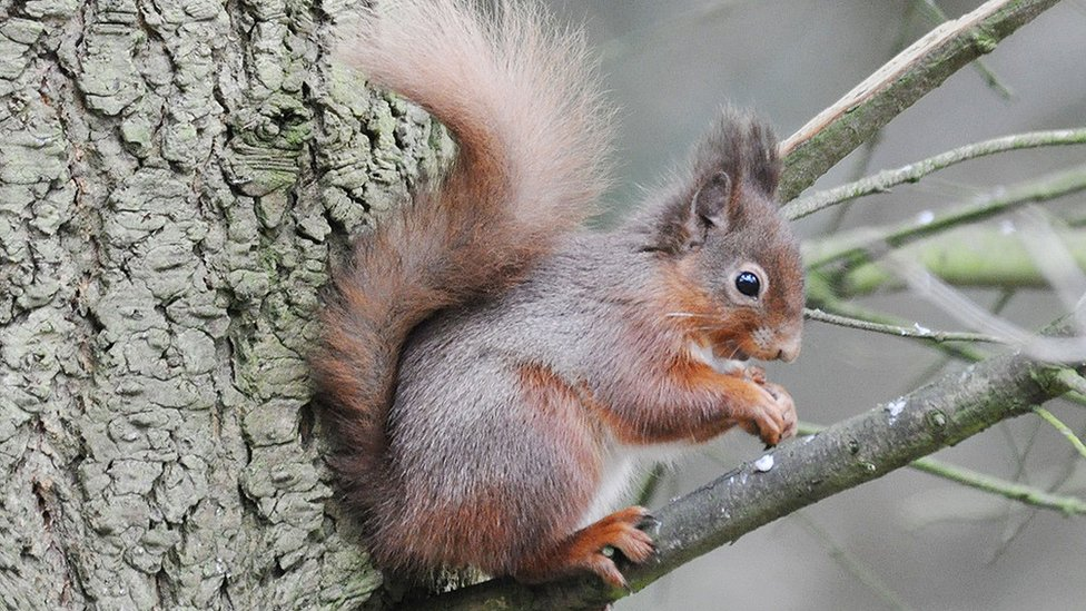 Red squirrels return to National Trust's Wallington