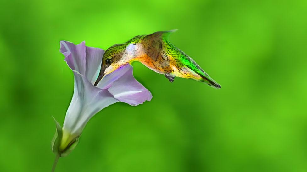 Colibrí bebiendo néctar de una flor