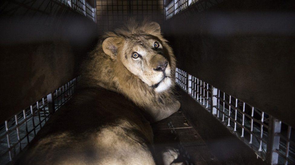 Matan a dos leones rescatados del circo; sospechan de 'brujos'