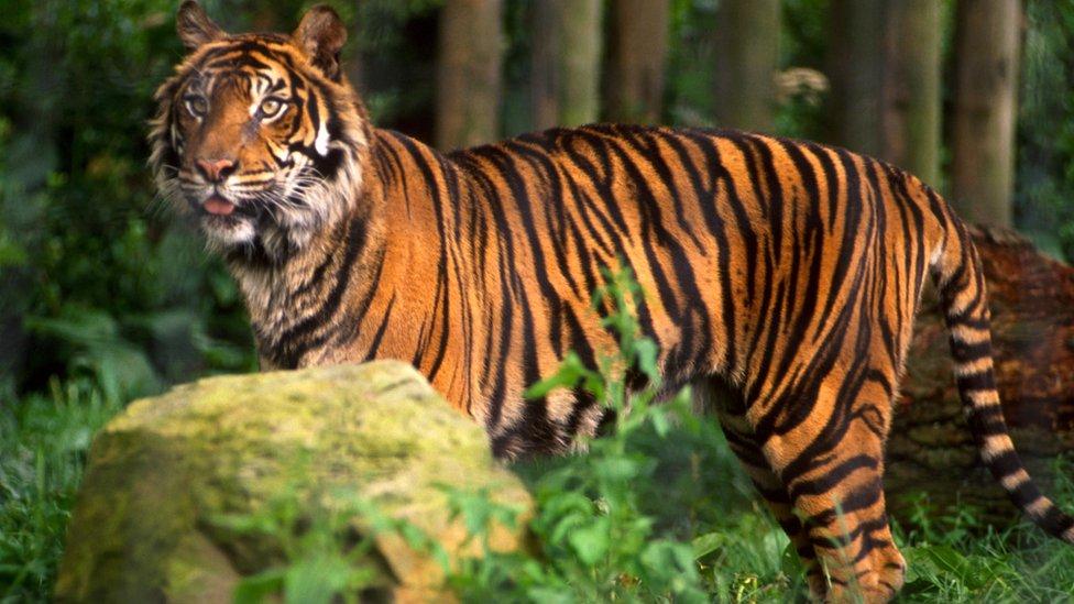 Tigre, imagen de archivo