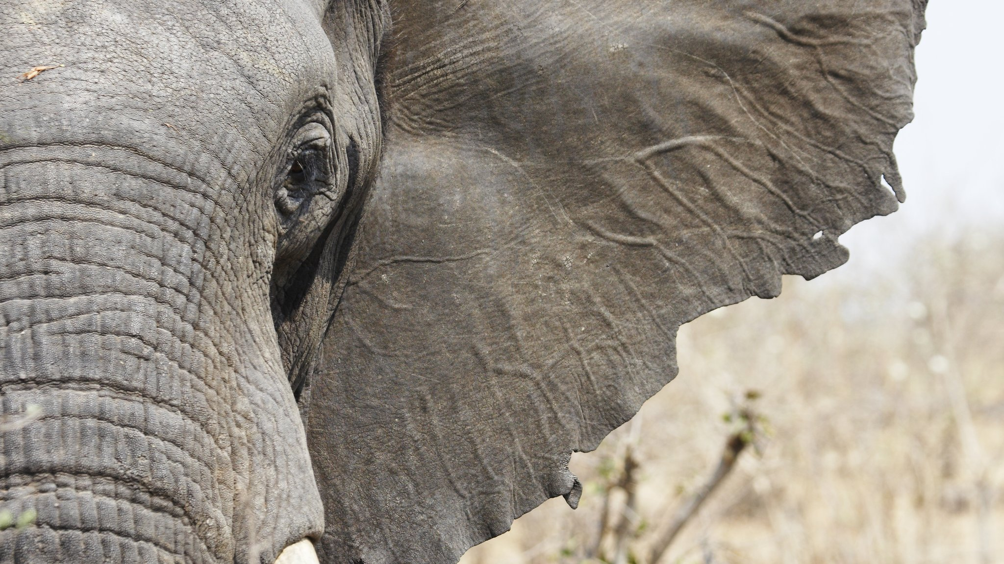Bbc Tv Shows >> World Elephant Day: Should we be worried about the number of elephants? - CBBC Newsround