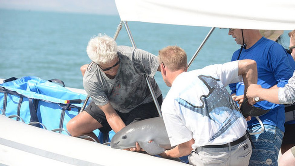 Científicos capturando una vaquita Foto: SEMARNAT