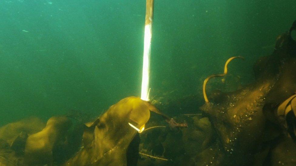 Seaweed farming in the Russian Arctic
