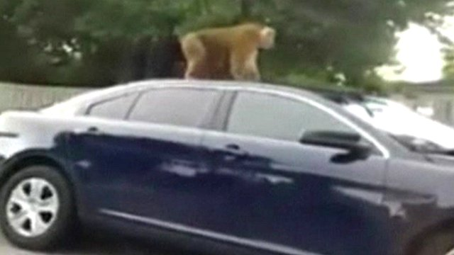 VIDEO: Escaped Florida monkey damages police car...