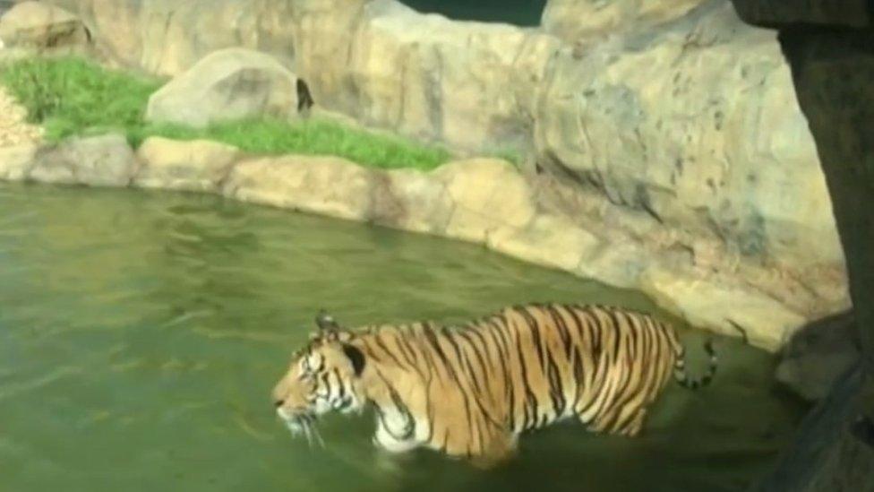 Recinto para los tigres, foto de 2016.
