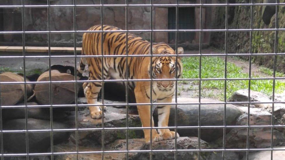 Virus corona: Harimau 'dipuasakan' karena kebun binatang kesulitan memberi  makan satwa di masa wabah - BBC News Indonesia
