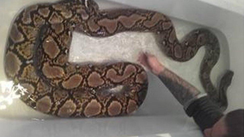 Runaway 15ft python Tinkerbell found in garden