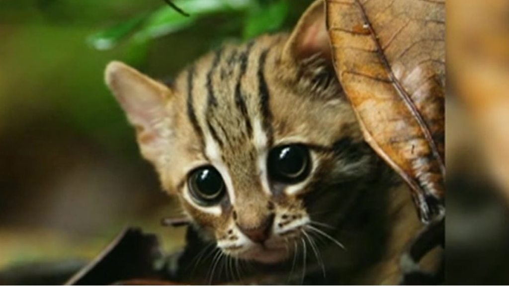 Smallest cat in world: Footage of rare animal