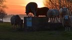 Sheep enjoying the sunset at Normanton on Rutland Water