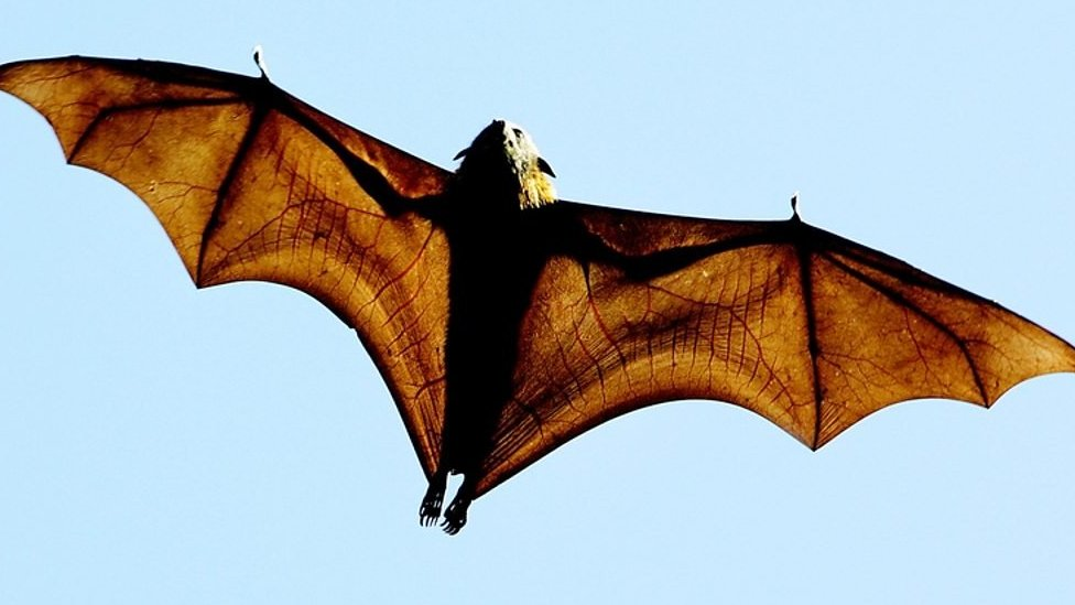 Australian town driven batty by flying foxes