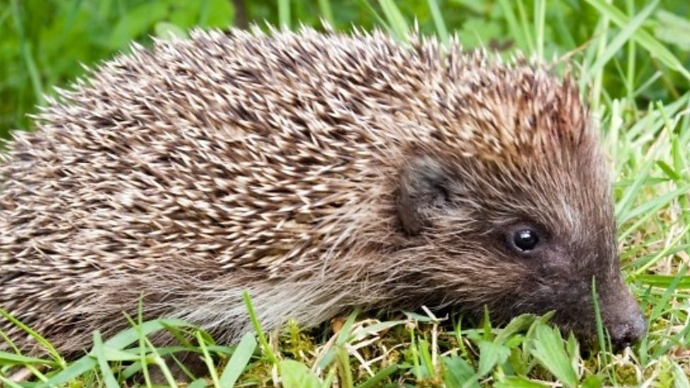 The village that made itself hedgehog friendly