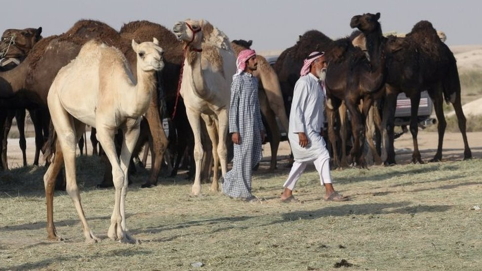"""سعودي د """"قطر اوښان او مېږې شړلي"""""""