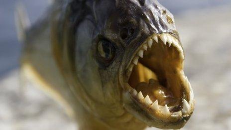 Jurassic-era piranha is world's earliest flesh-eating fish   BBC