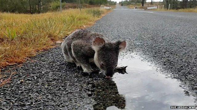 Koalas 'facing extinction' in some Australian states