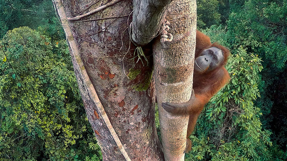 Ape's fig challenge