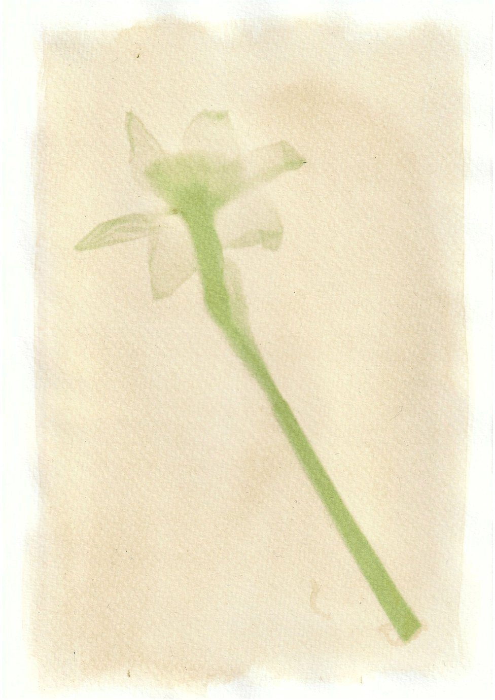 An anthotype print of a green daffodil