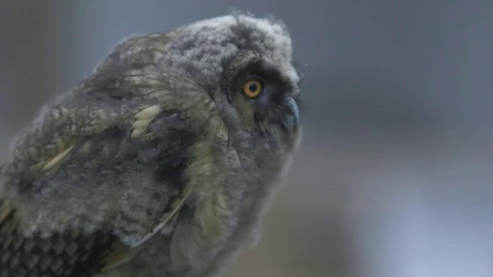 Baby long-eared owl Rusty learns to fly at botanic garden