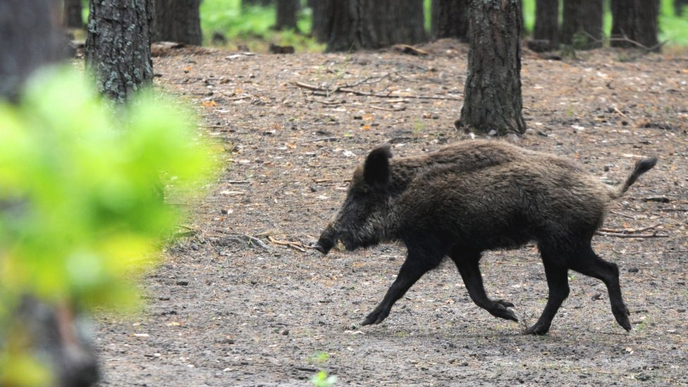 Wild boar meat 'may have poisoned' New Zealand family