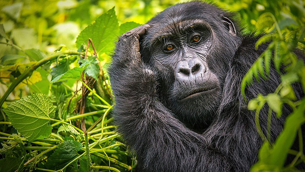 Tech to give new insight into gorillas and other news