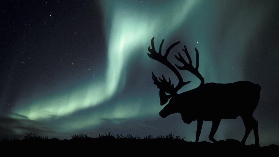 Climate change: Arctic reindeer numbers crash by half | BBC