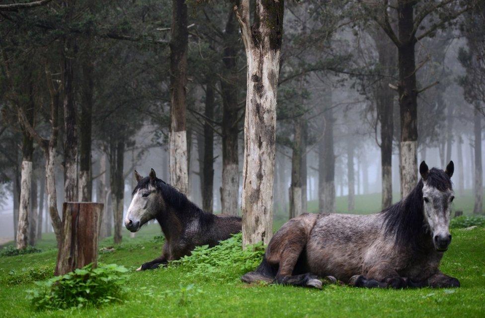 أحصنة رُصِدت في غابة يشوبها الضباب بالقرب من أطلال أغريقية ورومانية بمدينة شحات في ليبيا.