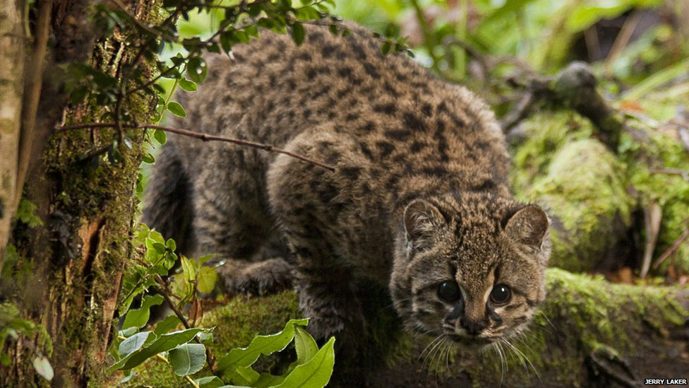 Hope for threatened 'little tiger cat'