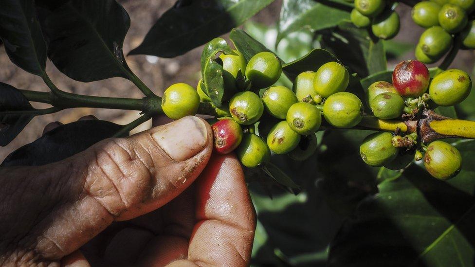 Los productores reciben alrededor del 10% de lo que genera el mercado mundial de café.