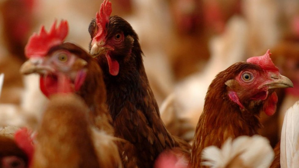 Truth or Not? Wrexham chicken shed plans for 100,000 birds approved