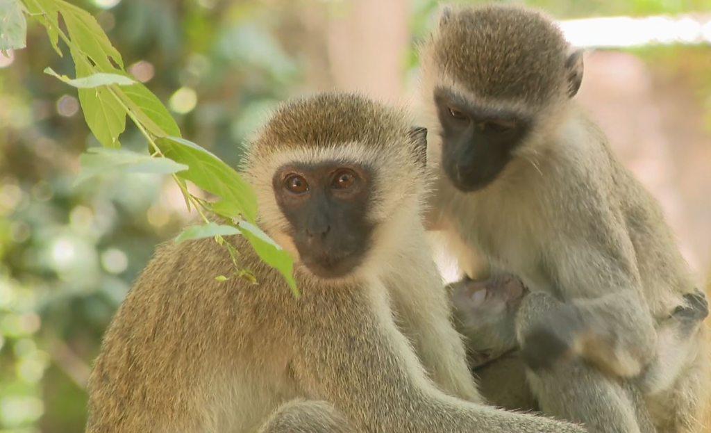 Colobus monkeys in Kenya 'threatened by humans'