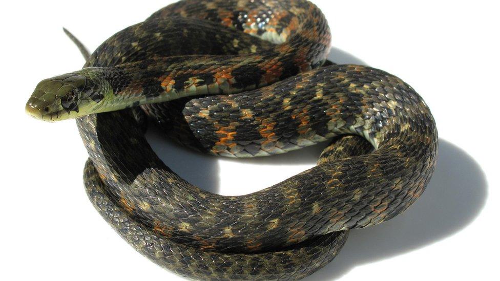 The venomous Asian tiger snake