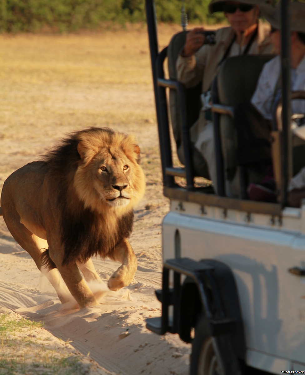 Colorado Runner Kills Mountain Lion: In Pictures: Zimbabwe's Cecil The Lion