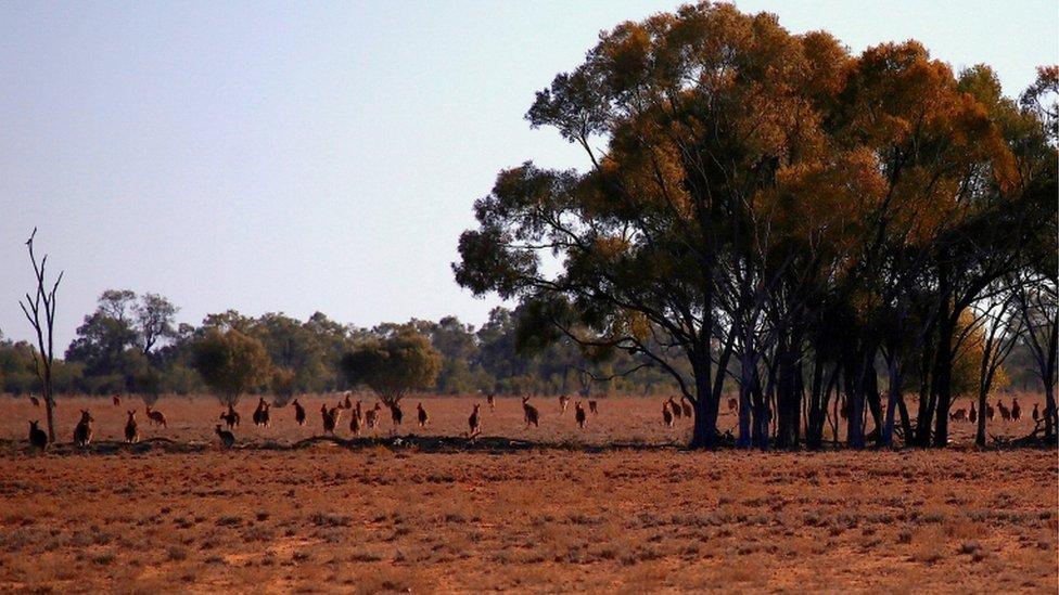 昆士蘭省的袋鼠