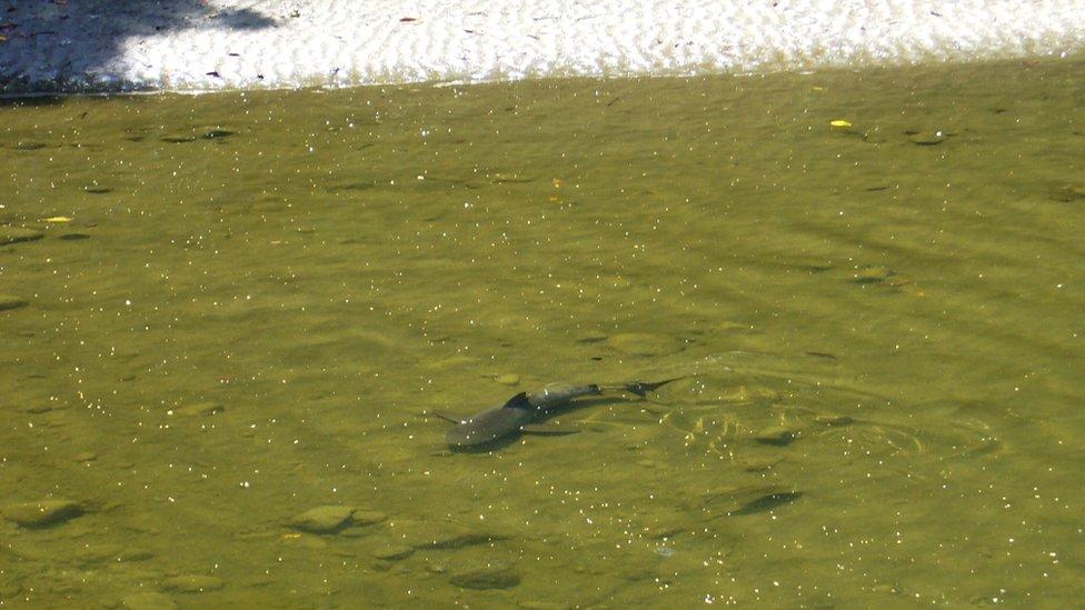 Un tiburón toro en un río del parque nacional Corcovado en Costa Rica.
