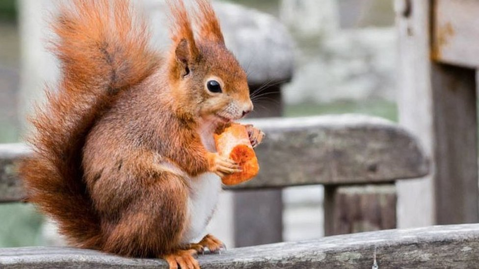 Conservationists call for 'red squirrel army'