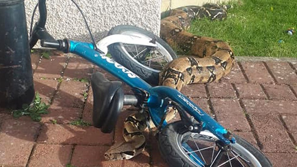 Dad's shock after children find boa constrictor in garden