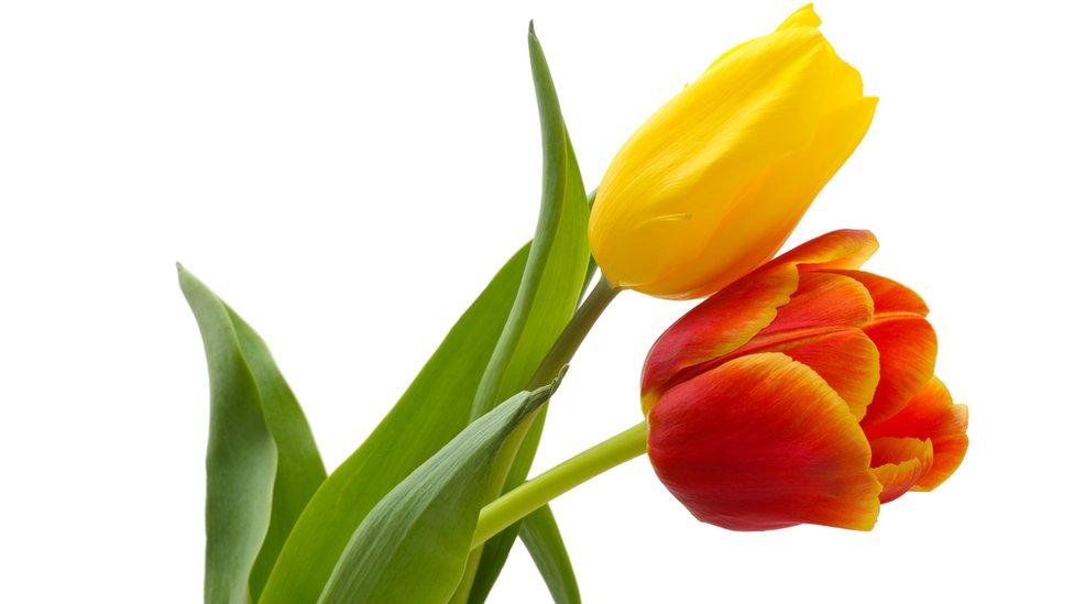 La burbuja de los tulipanes es considerada la primera burbuja especulativa masiva de la historia mundial.
