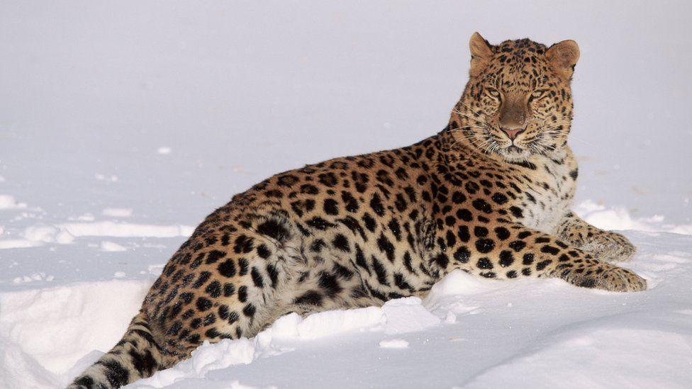 Los leopardos del Amur viven en el este de Rusia. Foto: WWF.