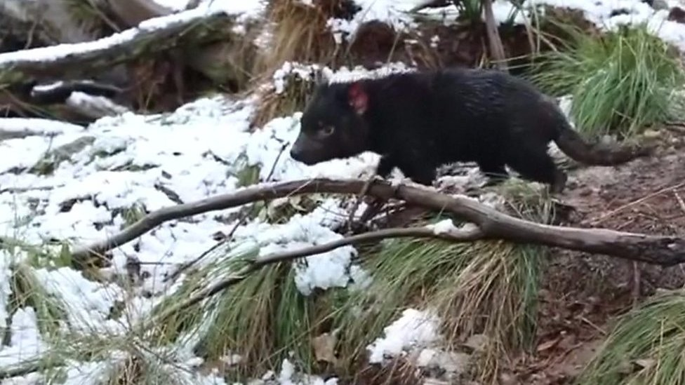 Tasmanian Devils filmed in Australia playing in the snow