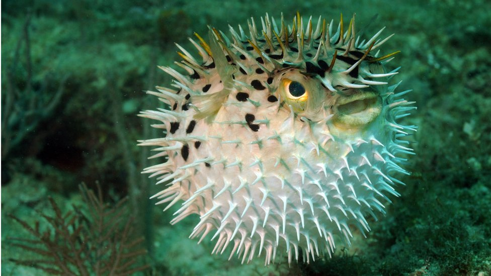 best service 08d1e abd87 Inflatable puffer fish pill  could track patient s health  - US scientists  say it could be used to monitor tumours or ulcers for a month in the  stomach.