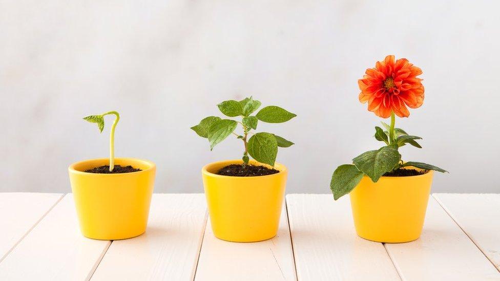 Las angioespermas producen flores y frutas que contienen las semillas.