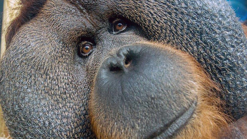 Colchester Zoo's orangutan Rajang dies aged 50